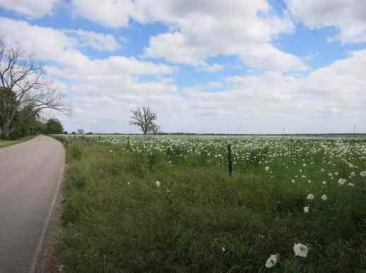1200px-Fulshear_TX_Wildflowers